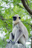 Tufted Grey Langurs (Semnopithecus Priam)  Polonnaruwa  North Central Province  Sri Lanka  Asia