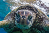 Green Sea Turtle (Chelonia Mydas) Underwater  Maui  Hawaii  United States of America  Pacific