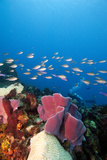 Reef Scene with Sponges  Dominica  West Indies  Caribbean  Central America