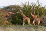 Masai Giraffe (Giraffa Camelopardalis)  Samburu National Reserve  Kenya  East Africa  Africa