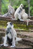Tufted Grey Langurs (Semnopithecus Priam)  Polonnaruwa  North Central Province  Sri Lanka  Asia