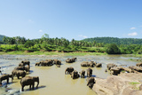 Pinnewala Elephant Orphanage Near Kegalle  Hill Country  Sri Lanka  Asia