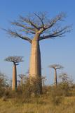 Baobabs (Adansonia Grandidieri)  Morondava  Madagascar  Africa