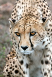 Cheetah Approaching Prey  Western Cape  South Africa  Africa