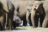 Pinnewala Elephant Orphanage Near Kegalle  Hill Country  Sri Lanka  Asia