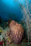 Giant Barrel Sponge  Dominica  West Indies  Caribbean  Central America