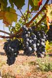 Cabernet Franc Grapes Growing in a Montsoreau Vineyard  Maine-Et-Loire  France  Europe