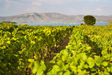 Vineyard  Lumbarda  Korcula Island  Dalmatian Coast  Adriatic  Croatia  Europe