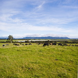 Herd of Cows on Farmland on the West Coast  South Island  New Zealand  Pacific