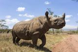 Rhino  Lewa Wildlife Conservancy  Laikipia  Kenya  East Africa  Africa