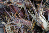 Lobsters  Anegada Island  British Virgin Islands  West Indies  Caribbean  Central America