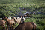 Gaucho with Horses at Estancia Los Potreros  Cordoba Province  Argentina  South America