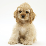 Buff American Cocker Spaniel Pup  China  10 Weeks  Sitting