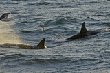 Two Killer Whales (Orcinus Orca) with a Solitary Fulmar (Fulmarus Glacialis)  Shetland Islands  UK