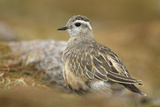 Female Eurasian Dotterel (Charadrius Morinellus) on Upland Plateau of Grampian Mountains  Scotland