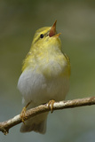 Wood Warbler (Phylloscopus Sibilatrix) Singing from Perch Wales  April