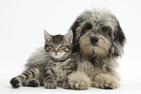 Tabby Kitten, Fosset, 8 Weeks Old, with Fluffy Black-And-Grey Daxie-Doodle Pup, Pebbles Papier Photo par Mark Taylor