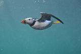 Puffin (Fratercula Arctica) Swimming Underwater  Farne Islands  Northumberland  UK  July