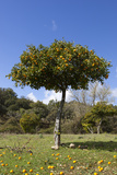 Orange Tree  Near Linares De La Sierra  Andalucia  Spain  Europe