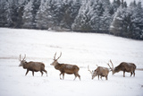Four Red Deer Stags Walking and Grazing on Open Snow-Covered Moorland  Cairngorms Np  Scotland  UK