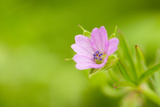 Cranesbill Geranium (Geranium Sp) Flower  Montiagh's Moss  County Antrim  Northern Ireland  UK