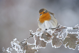Robin (Erithacus Rubecula) Adult Perched in Winter with Feather Fluffed Up  Scotland  UK  December