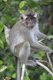 Crab Eating Macaque (Macaca Fascicularis) Juvenile Sitting Portrait  Indonesia