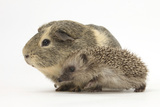 Baby Hedgehog (Erinaceus Europaeus) and Guinea Pig  Walking in Profile