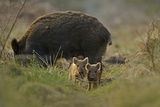 Wild Boar (Sus Scrofa) Female and Piglets in Forest  Forest of Dean  Gloucestershire  UK  March