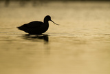 Avocet (Recurvirostra Avosetta) Silhouetted in Water at Sunrise  Brownsea Island  Dorset  UK
