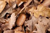 English Oak Tree Acorn and Fallen Leaves in Autumn, Beacon Hill Country Park, Leicestershire, UK Papier Photo par Ross Hoddinott
