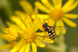 Hoverfly (Syrphus Ribesii) Feeding on Common Ragwort (Senecio Jacobaea) Flower  Dorset  UK  August
