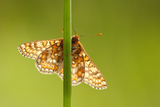 Marsh Fritillary Butterfly {Euphydrayas Aurinia} Backlit on Plant Stem  Dunsdon  Devon  UK June