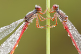 Two Small Red Damselflies {Ceriagrion Tenellum} Covered in Morning Dew  Arne Reserve  Dorset  UK