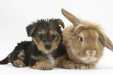 Yorkshire Terrier Puppy  8 Weeks  with Sandy Lionhead-Cross Rabbit