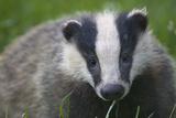 Badger (Meles Meles) Cub  Dorset  England  UK  July
