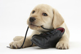 Yellow Labrador Retriever Puppy  8 Weeks  Chewing a Child's Shoe