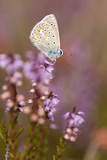 Common Blue Butterfly (Polyommatus Icarus)  Resting on Flowering Heather  Dorset  England  UK
