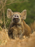 Wild Boar (Sus Scrofa) Female in Woodland Sniffling Air  Forest of Dean  Gloucestershire  UK