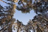 Looking Up Through Canopy of Scot's Pine Trees (Pinus Sylvestris) Woodland Showing Heart Shape  UK