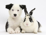 Black and White Border Collie Puppy and Black and White Rabbit