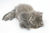 Maine Coon Kitten  8 Weeks  Lying on its Back  Looking Up in a Playful Manner