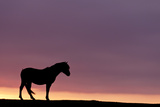 Silhouetted Dartmoor Pony (Equus Caballus) at Sunrise  Combestone Tor  Dartmoor Np  Devon  UK