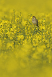 Corn Bunting (Milaria Calandra) Perched in Field of Oilseed Rape  Hertfordshire  England  UK  April