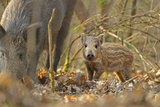 Wild Boar (Sus Scrofa) Piglet and Mother in Forest  Forest of Dean  Gloucestershire  UK  March