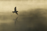 Common Sandpiper (Actitis Hypoleucos) Adult in Flight over Loch at DawnCairngorms Np  Scotland  UK