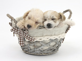 Bichon Frise Cross Yorkshire Terrier Pups  6 Weeks  Asleep in a Basket