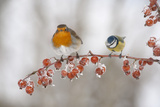 Robin (Erithacus Rubecula) and Blue Tit (Parus Caeruleus) in Winter  Perched on Twig  Scotland  UK