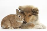 Rough Collie Puppy  14 Weeks  with Sandy Netherland Dwarf-Cross Rabbit