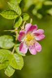 Dog Rose {Rosa Canina} Flowering in Healthy Hedgerow  Denmark Farm  Lampeter  Wales  UK June